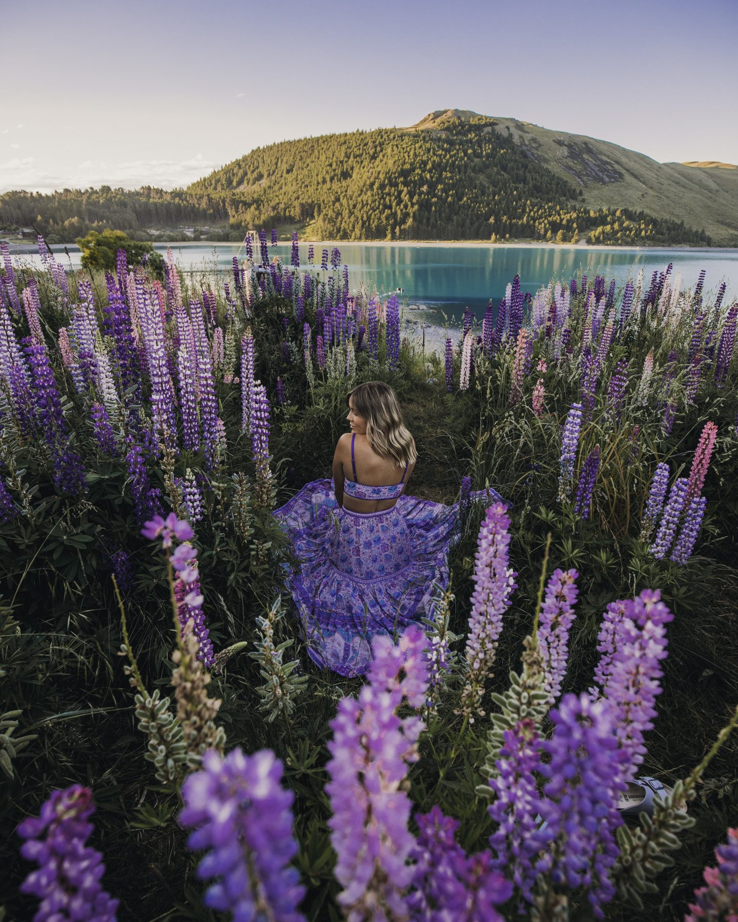Lupine fields in New Zeland on a road trip