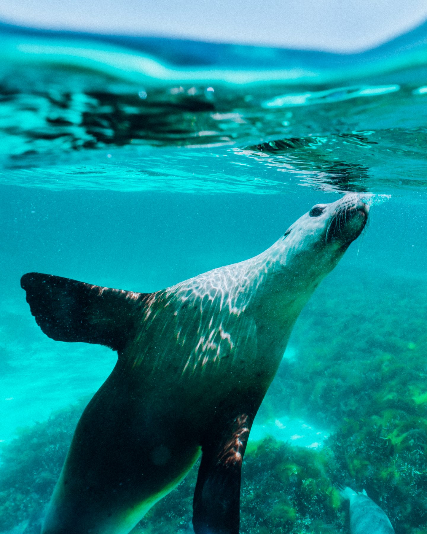 Sea lion on Rottnest Island in Western Australia